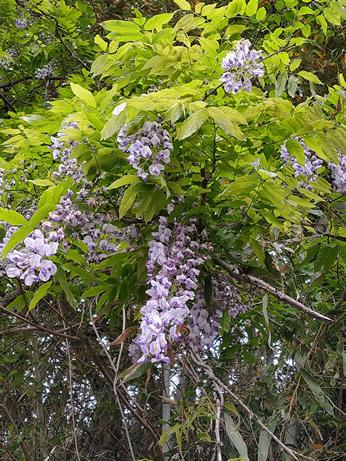 上野原野生の藤の花
